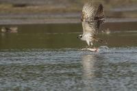 Visarend met snoek – Pandion haliaetus – Fish hawk(a)