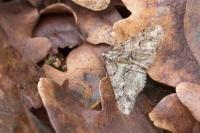 Kleine voorjaarsspanner – Agriopis leucophaearia(a)