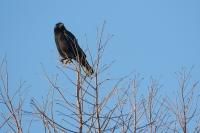 Zwarte kraai – Corvus corone(a1)