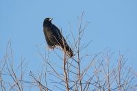 Zwarte kraai in de ochtendzon – Corvus corone(a)