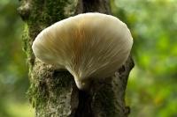 Bleke hapoenzwam – Hohenbuehelia mastrucata(a)