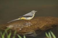 Grote gele kwikstaart – Motacilla cinerea – Grey Wagtail(a3)