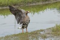 Kolgans strekt vleugels – Anser albifrons(a)