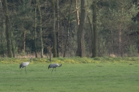 Kraanvogelpaartje – Grus grus(a)