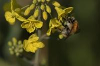 Akkerhommel – Bombus pascuorum(a1)