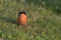 Goudvink man foeragerend – Pyrrhula pyrrhula – Eurasian bullfinch(a1)