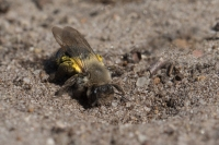 Grijze zandbij vrouw – Andrena vaga(a)