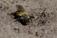 Grijze zandbij vrouw – Andrena vaga(a1)