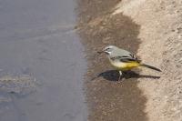 Grote gele kwikstaart met voer – Motacilla cinerea – Grey Wagtail(a)