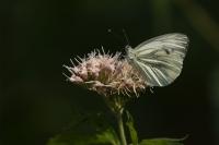 Klein geaderd witje – Pieris napi – Green-veinedwhite(a2)