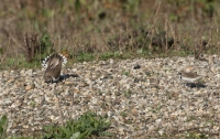 Kleine plevier met baltsgedrag – Charadrius dubius(a)
