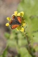 Kleine vuurvlinder – Lycaena phlaeas(b2)