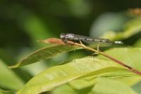 Blauwe breedscheenjuffer – Platycnemis pennipes(a)