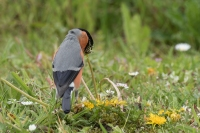 Goudvink man foeragerend – Pyrrhula pyrrhula – Eurasianbullfinch(b)