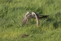 Koekoek in de vlucht – Cuculus canorus Linnaeus(a)
