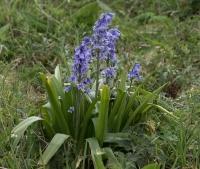 Kruishyacint – Hyacinthoides x massartiana(a)