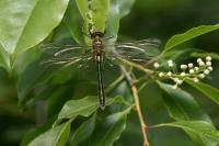 Smaragdlibel – Corduliaaenea(a5)