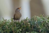 Winterkoning zingend – Troglodytes troglodytes(a)