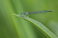 Blauwe breedscheenjuffer man – Platycnemis pennipes(a)