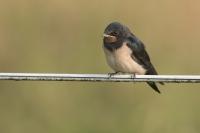 Boerenzwaluw juveniel – Hirundo rustica – Barn swallow(a3)