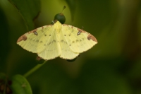 Hagedoornvlinder – Opisthograptis luteolata(a)