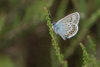 Icarusblauwtje op heide – Polyommatus icarus – Common blue(a)