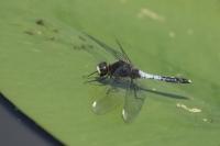 Sierlijke witsnuitlibel – Leucorrhinia caudalis(a2)