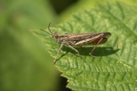 Bruine sprinkhaan – Chorthippus brunneus(a)