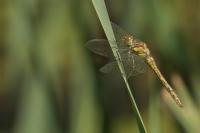Bruinrode heidelibel vrouw – Sympetrumstriolatum(a1)
