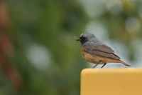 Gekraagde roodstaart man met vlieg – Phoenicurus phoenicurus(a1)