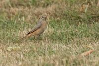 Gekraagde roodstaart vrouw – Phoenicurus phoenicurus(a2)