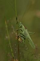 Grote groene sabelsprinkhaan man – Tettigonia viridissima(a4)