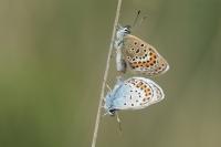 Heideblauwtjes parend – Plebejus idas(a1)