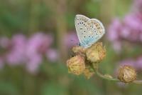 Icarusblauwtje – Polyommatus icarus(b)