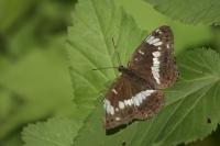 Kleine ijsvogelvlinder – Limenitis camilla(a1)