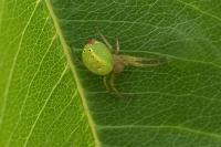 Komkommerspin – Araniella cucurbitina(a)