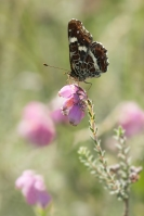 Landkaartje – Araschnia levana(3)