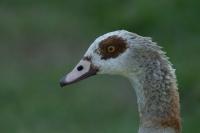 Nijlgans kopportret – Alopochen aegyptiacus(a)