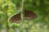 Oleandervlinder – Euploea core(a)