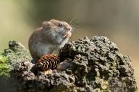 Rosse woelmuis – Myodesglariolus(a4)