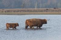 Schotse hooglander met jong – Aphtae epizoaticae(a)