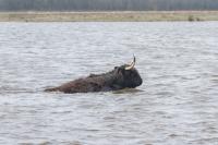 Schotse hooglander zwemmend – Aphtaeepizoaticae