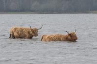 Schotse hooglanders wadend – Aphtaeepizoaticae