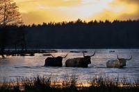 Schotse Hooglanders wadend in Mepper Hooilanden bij zonsondergangMG_8076