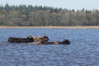 Schotse hooglanders zwemmend – Aphtae epizoaticae(a)