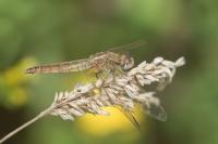 Vuurlibel vrouw – Crocothemis erythraea(a)