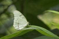 Witte morpho – Morpho polyphemus(a)