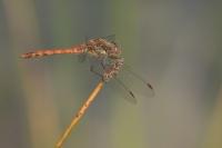 Bruinrode heidelibel man – Sympetrumstriolatum(b1)