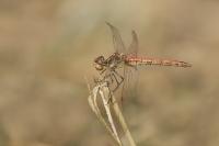 Bruinrode heidelibel vrouw – Sympetrumstriolatum(a2)
