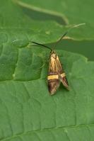 Geelbandlangsprietmot – Nemophora degeerella(a1)